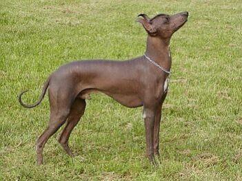 10.Inkský nahác Zaujímavé plemená psov