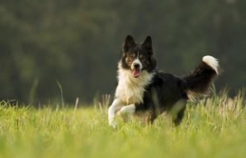 12.Border Collie Najrýchlejšie psy  najrýchlejší pes