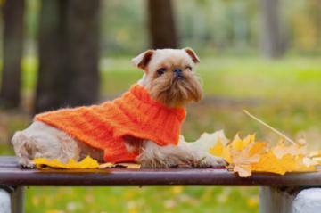 2. Bruselský grifonek Najmenší pes na svete : Top 12 najmenšie psy na svete