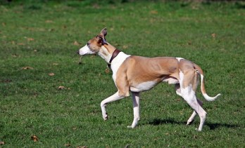 6.Whippet Najrýchlejšie psy  najrýchlejší pes