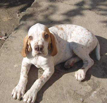 7.Turkish pointer Zaujímavé plemená psov