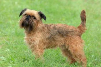 9.Bruselský grifón Zaujímavé plemená psov