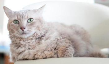 LaPerm Hypoalergénne mačky  Plemena mačiek