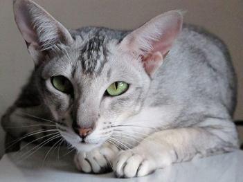 Orientálna krátkosrstá kočka