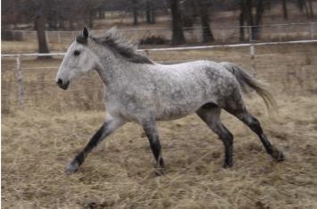 Americký kučeravý baškir (Curly Horse) 2