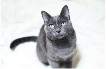 ruska modra Mačka do bytu