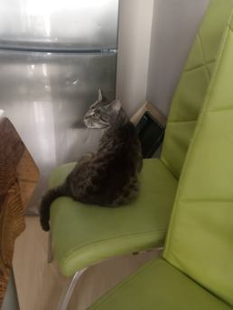 staršia sediaca mačka Staršia mačka