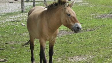 1. Kôň Przewalský je poddruhom Equus ferus