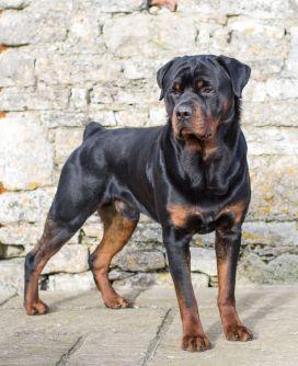 6. Rotvajler najsilnejších plemien psov na svete najsilnejšie plemena psov najsilnejšie psy