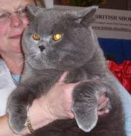 8. Britská krátkosrstá mačka