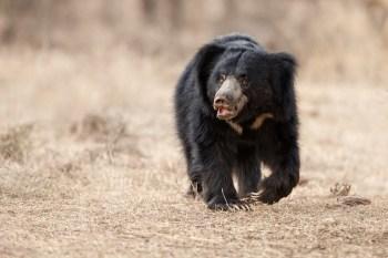 Medved-pyskaty