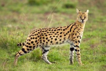 Serval mačka najnebezpečnejších plemien mačiek