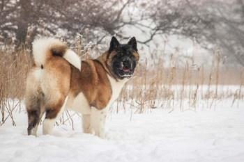 Akita plemien bojových psov