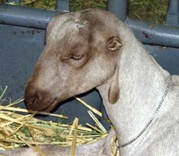 2.Koza Lamancha