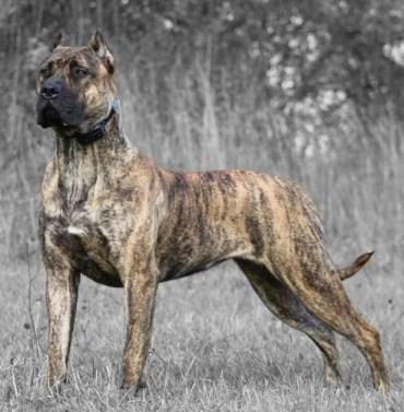 Kanárska doga (Presa canario) Španielske plemená psov