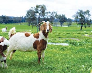 koza pemien kôz na produkciu mlieka  mäsa