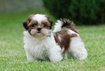 Ši-cu Top 5 romantických plemien psov