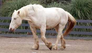 Americký krémový kočiarový kôň