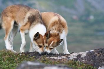 Nórsky lundehund