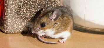 ako zistim že mam doma myš zbaviť myší v dome