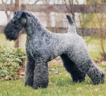 Modrý teriér z Kerry pes ktorý neplzne