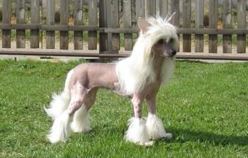 Čínsky chocholatý pes pes ktorý neplzne