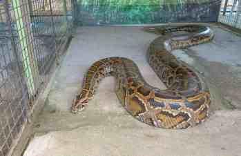 Pytón mriežkovaný Najväčšie hady na svete Najväčší had na svete
