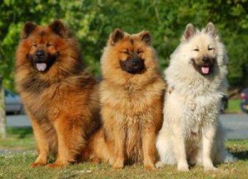 Eurázier Nemecké plemená psov