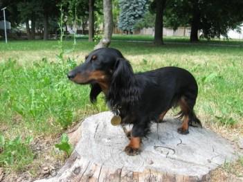 Jazvečík Poľovnícky pes