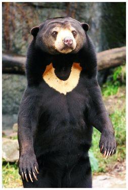 Medveď malajský