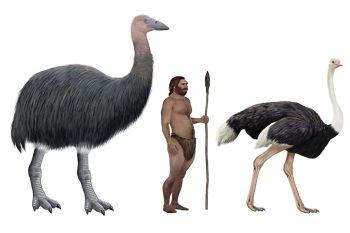 Vuronovité (Slonie vtáky) Vyhynuté zvieratá