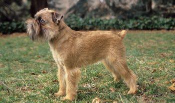 Bruselský grifón Neplznúce psy : 15 hypoalergénnych plemien psov