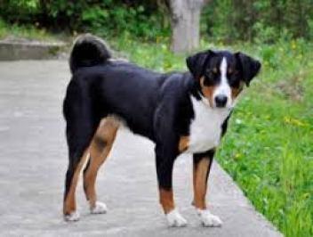 Appenzellský salašnícky pes Švajčiarske plemená psov