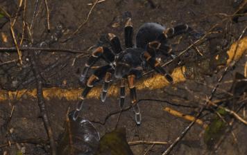 Megaphobema robustum Najväčšie pavúky na svete najväčší pavúk