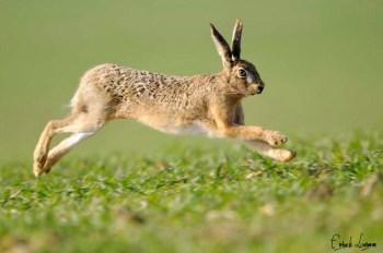 zajac Najrýchlejšie zviera na svete - top 10 najrýchlejších zvierat