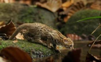 Mačka červenoškvrnná Ázia zvieratá