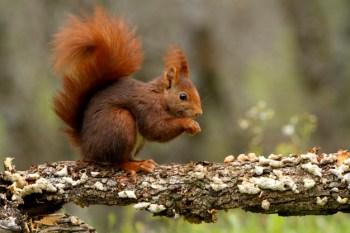 Veverica obyčajná Lesné zvieratá Slovensku