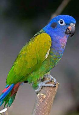 papagáj Pionus