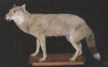 Líška falklandská