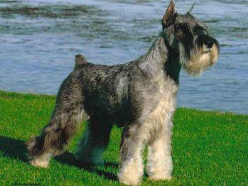 Malý bradáč Nemecké plemená psov