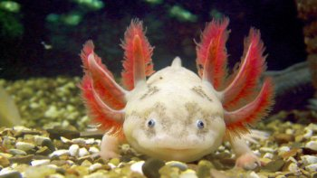 Axolotl Akvárium : 9 tvorov