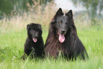 Belgický ovčiak Belgicke plemena psov