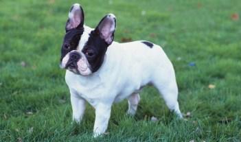 Francúzsky buldoček Francúzske plemená psov