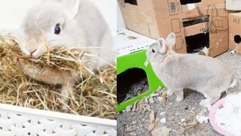 Gravidita u králikov