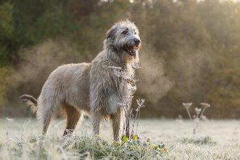 Írsky vlkodav Veľké plemená psov