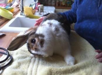 Kralik-E.-Cuniculi Choroby králikov