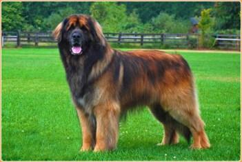 Leonberger Veľké plemená psov