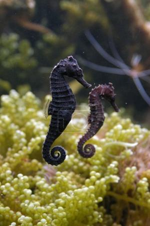 Morské koníky Akvárium : 9 tvorov