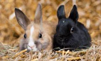 Saténový krátkosrstý zakrslý králikTop 10 plemien králikov chovaných ako domáci miláčik