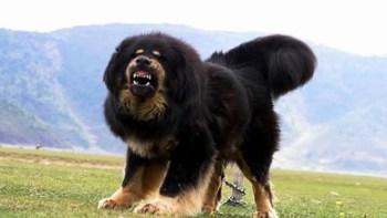 Tibetská doga veľké psy